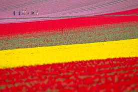 Tulip fields outside of Haarlem - the flower capital